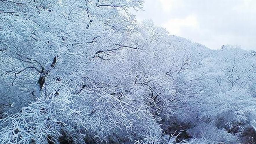*早朝の雪樹。