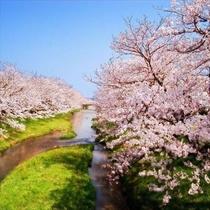 【花吹雪温泉まつり】島根で5位の桜スポット