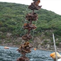 【隠岐の岩牡蠣】