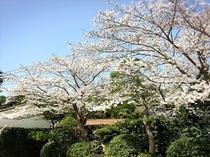 【当館の庭園の桜】駐車場の桜もキレイです