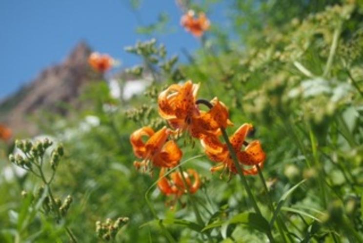 夏 白馬岳 高山植物