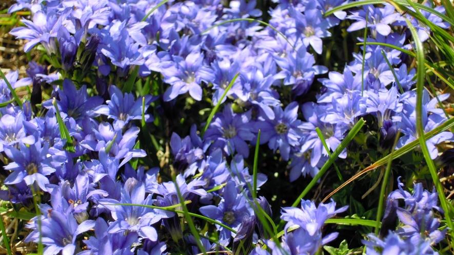 *【高山植物】ミヤマリンドウ