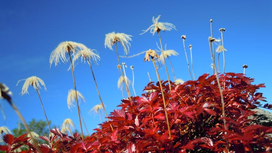 *【周辺】真っ赤な草紅葉のチングルマ