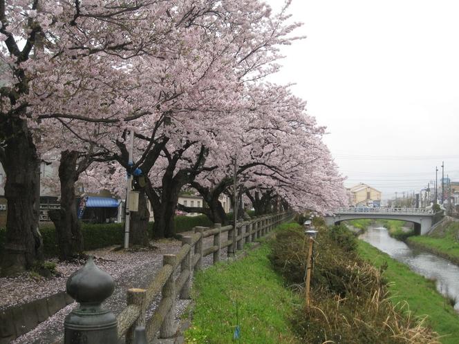 袋川土手の桜1