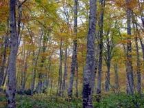 ブナ原生林の紅葉