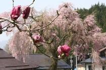 モクレンと枝垂桜