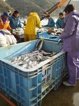 定置網の魚わけ作業