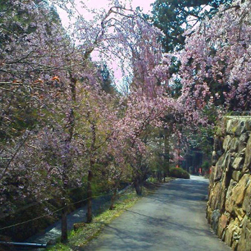 三方石観世音の「しだれ桜」