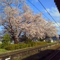 三方駅に咲く「ソメイヨシノ」