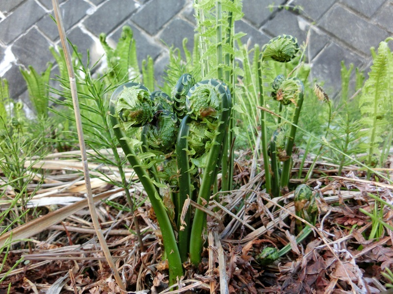 春の山菜のコゴミ