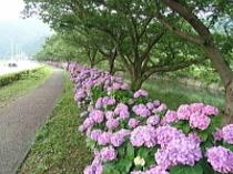 紫陽花が香る季節
