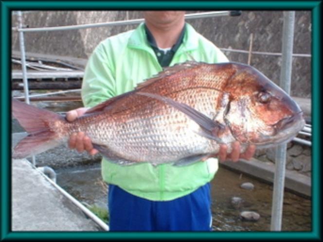 真鯛7キロ!