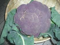 畑で採れた、カリフラワー 紫色です