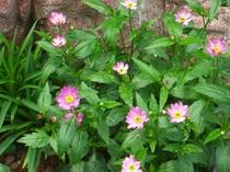 春爛漫!庭のみやこわすれもかわいい花を咲かせています