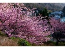 雲見の桜です