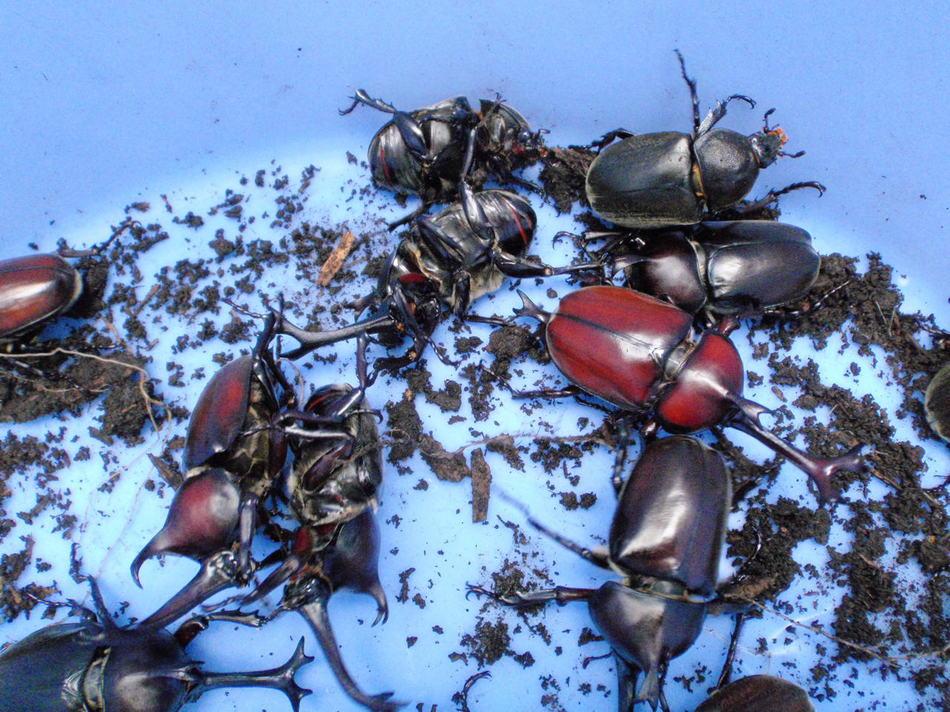 夏はカブトムシもたくさんいるよ!