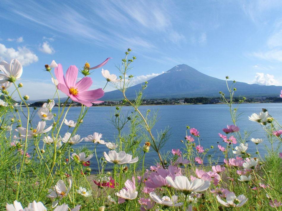 初秋 コスモスと富士山