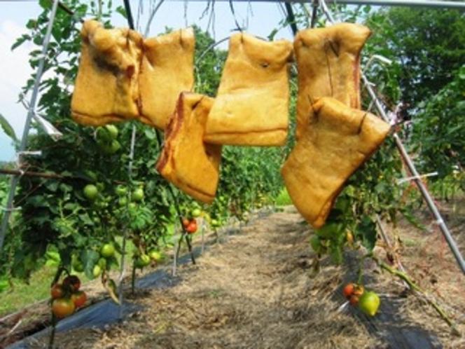 ベーコンの出来上がりと・トマト畑