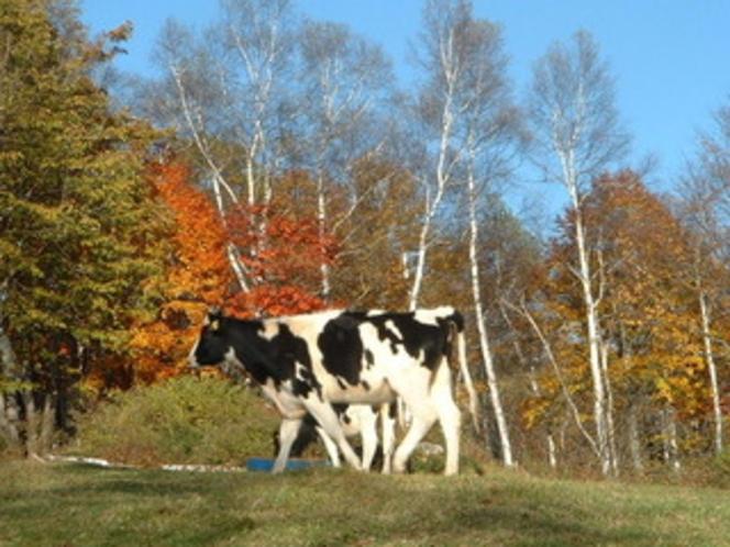 牛さんと紅葉