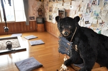 熊のはく製くん、いらっしゃいませ