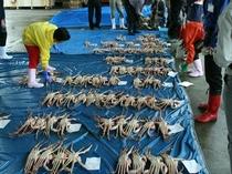 松葉ガニの初セリ、柴山漁港で(2008年)