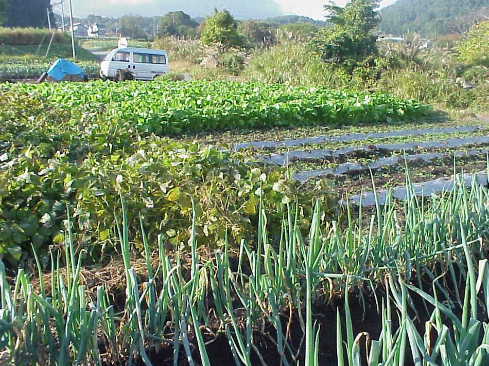 ど〜むファ〜ム♪童夢の新鮮野菜の畑です。