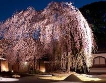 高台寺と夜桜