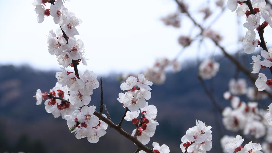神子の山桜♪200本以上の山桜が見られ、福井県の名勝のひとつになっています☆彡