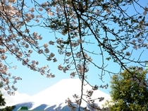 庭園から望む富士山(春)