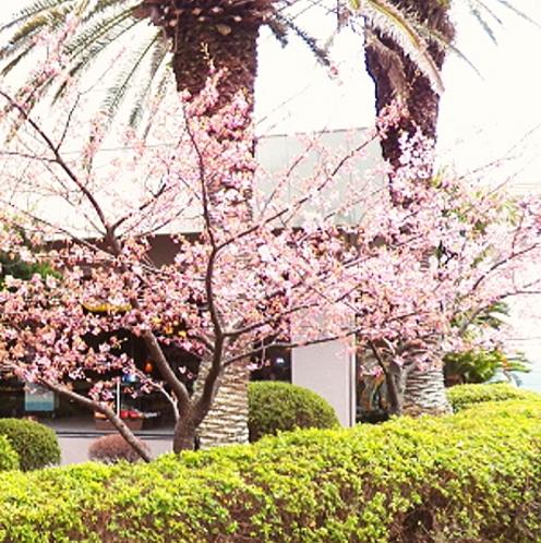 【景観】当ホテル玄関前の河津桜もお客様をお出迎え