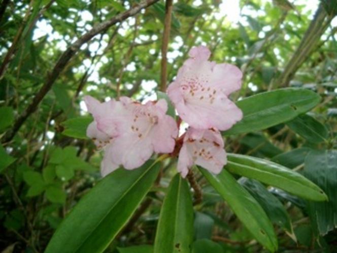 八海山の高山植物