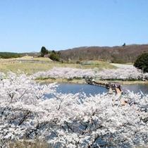 【周辺観光】登米市米山の平筒沼ふれあい公園桜