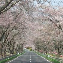 【周辺観光】登米市南方町の千本桜