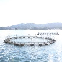 志津川湾は銀鮭の養殖も盛んです♪