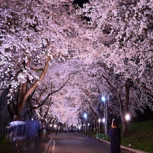 道路をおおう形で600mにわたって桜のアーチが続きます。