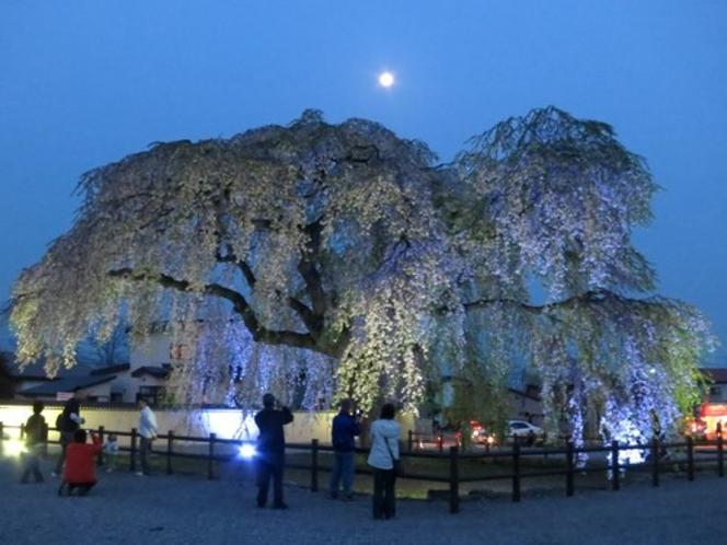 樹齢300年のしだれ桜