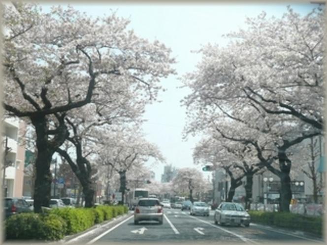 全国桜100選の地、日立市・平和通りの桜