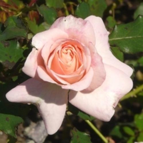 55_バラの花