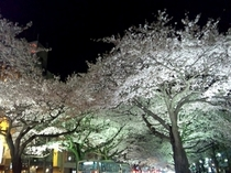 平和通りの夜桜