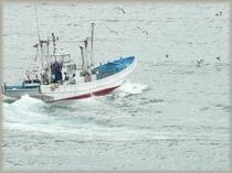 シラス漁の漁船を執拗に追い回す海鳥たち