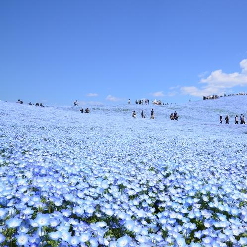世界の絶景・天空へと続く青一色の世界!ひたち海浜公園のネモフィラ(4月下旬~5月中旬見ごろ)車20分