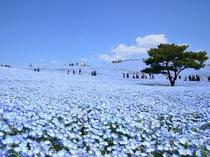 空まで続く青一色のネモフィラ ひたち海浜公園 みはらしの丘 4月下旬~5月上旬