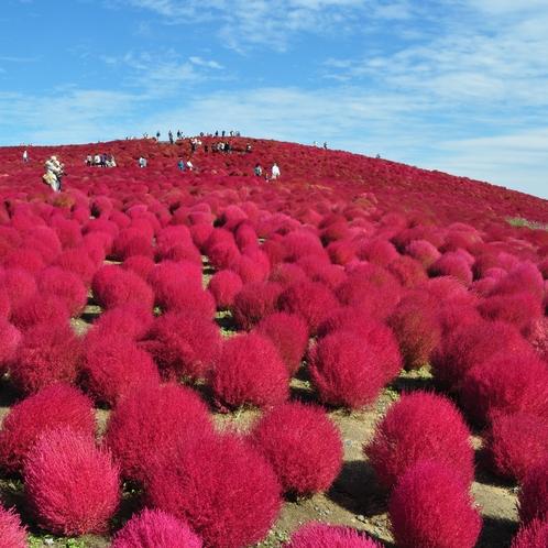 55一度は見てみたいひたち海浜公園コキアの絶景!紅葉したコキアと青空