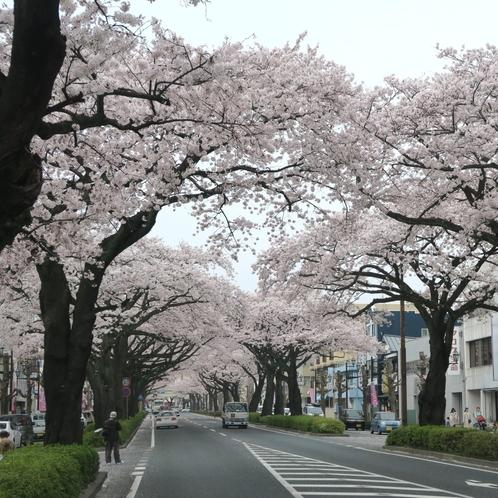 日立駅前平和通りの桜のトンネル