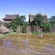 隣接する田んぼで古代米を栽培しています