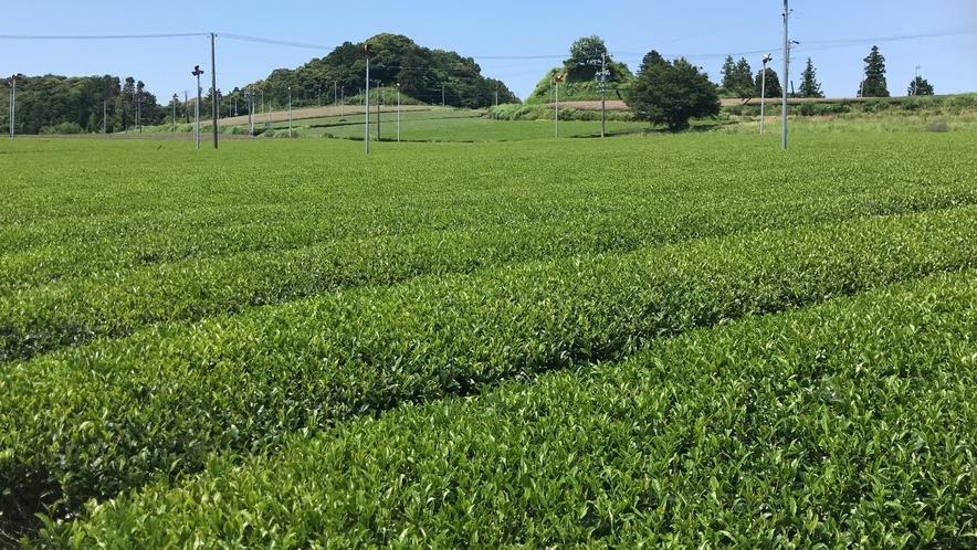 掛川茶畑(市内各地)