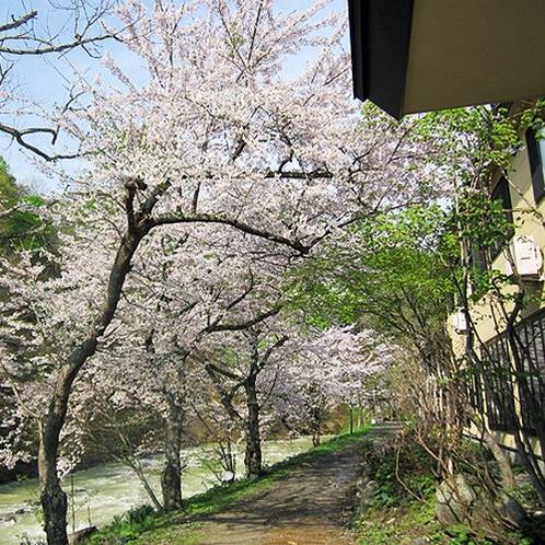 瀬美温泉の桜並木。