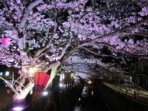 城崎温泉街 桜