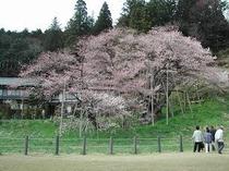 国指定天然記念物 臥龍桜