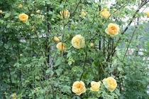 バラの咲き誇る頃